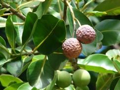 Calophyllum-inophyllum-fruit