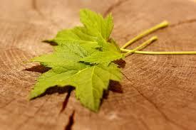feuilles de cassis