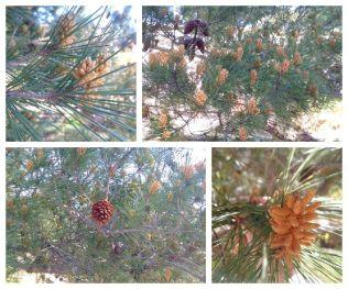 Pinus sylvestre