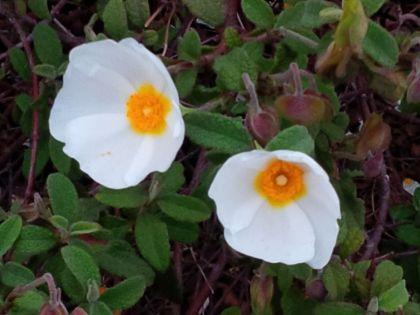 fleurs-de-ciste-2.jpg.jpeg