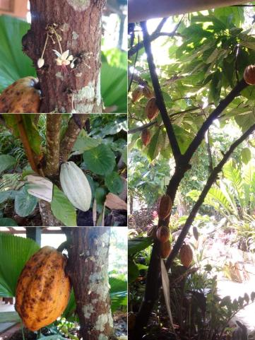 cacao608