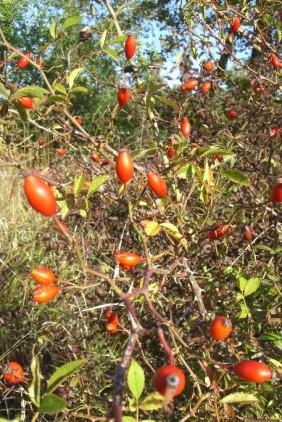 fruit-eglantier