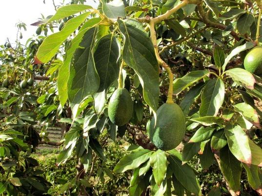 avocado-454288_960_720