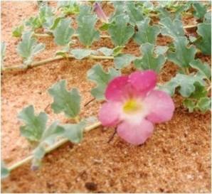 fleur-harpagophytum