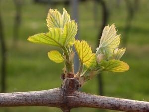 vigne-bourgeons
