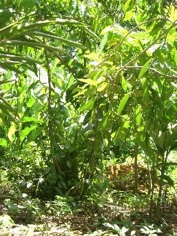ravensare-arbustes