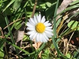 Fleurs paquerette