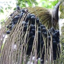 oenocarpus