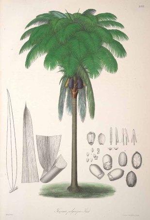 Oenocarpus_bataua