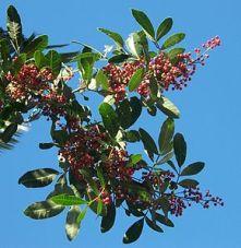 290px-Schinus_terebinthifolius_fruits
