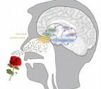 cerveau et odeurs
