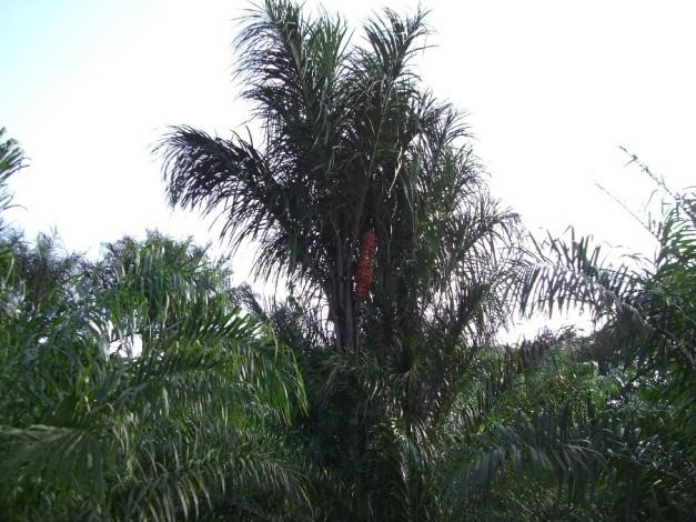 palmier awara